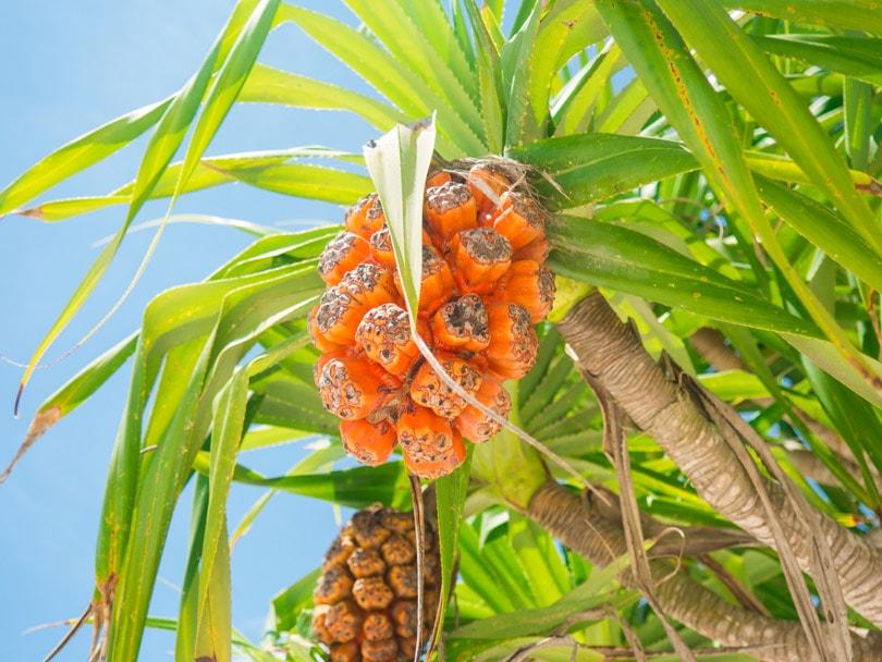 Tropical Fruits Tanjung Aan Beach Lombok