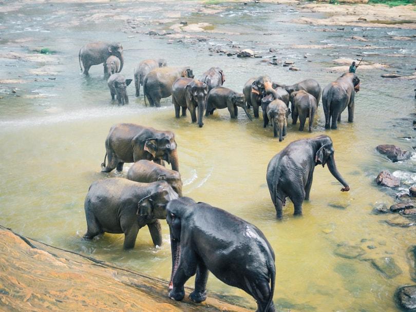 Pinnawala Elephant Experience - Elephants in chains