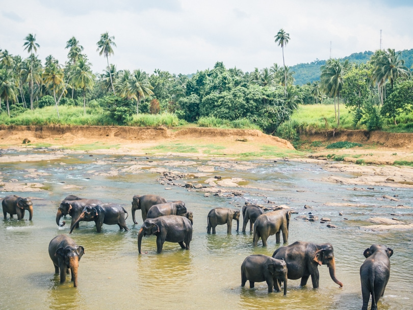 The Pinnawala elephant experience, Sri Lanka - Elephants bathing in the river