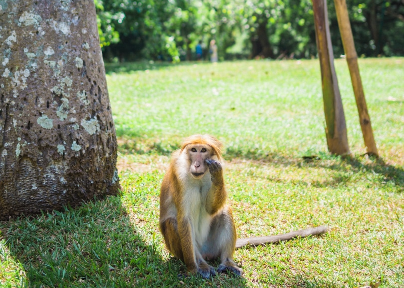 A quick guide to what to do in Kandy - Botanical Garden Monkey