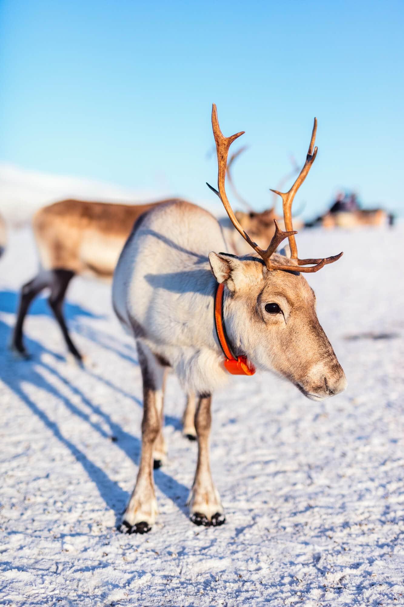 Top things to do in Norway - Reindeer in northern Norway
