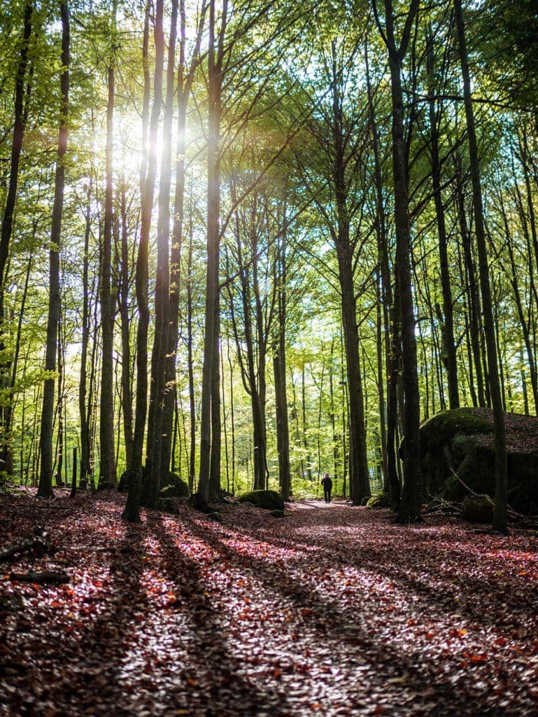 Sunset in Bøkeskogen - The Beech Tree Forest - is Norway's largest and the world's most northerly beech tree forest