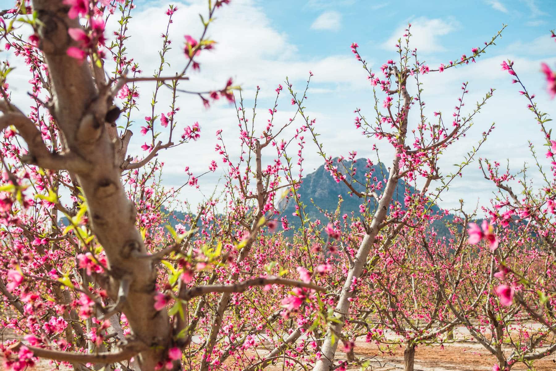 Pink peach tree blossoms in Cieza, Murcia - A guide to Floración de Cieza